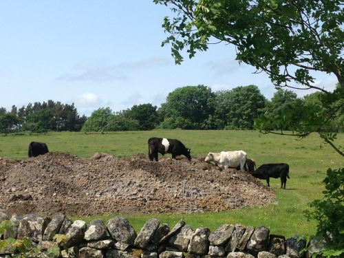 And I conclude with a picture of the cows claiming our spoil heap the second we go off for tea on our last day.