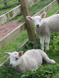 The baby lambs, rescued after their mother rejected them.