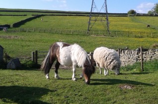 Luna (the miniature pony) and Sten (the sheep)